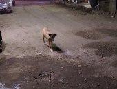 """الكلاب الضالة تهدد أهالى شارع عثمان فى """"الزيتون"""""""