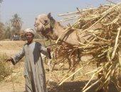 الحجر البيطرى بأسوان يستقبل 900 رأس إبل واردة من السودان