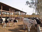 فوائد ومميزات برنامج التلقيح الصناعى للأبقار والجاموس.. تعرف عليها