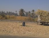 عمال كسر القصب بأسوان يشتكون غياب التأمين الصحى والاجتماعى وضعف الأجر
