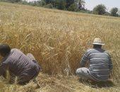 بالفيديو والصور.. معاناة صغار المزارعين بالوادى الجديد من الحصاد اليدوى