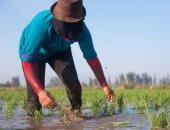 بالصور.. بطلات اللقمة الحلال.. 9 صور تحكى قصة العاملات فى زرع الأرز وحصاد القطن