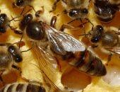 حملة لإنقاذ النحل من الانقراض فى فرنسا