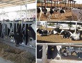 السودان يقرر إيقاف صادرات الماشية بعد ظهور حمى الوادى المتصدع