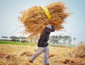 """""""الزراعة"""": حصاد 536 ألف فدان أرز  وتحرير 1976 محضر حرق """"قش"""""""