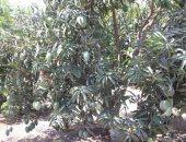 """""""الزراعة"""": لجان متابعة وبرامج توعوية لمقاومة العفن الهبابى بأشجار المانجو"""