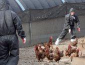 جنوب أفريقيا تعدم 260 ألف طائر لاصابتها بإنفلونزا الطيور