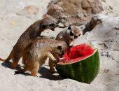 بالصور.. حيوانات إيطاليا تواجه ارتفاع درجة الحرارة بتناول الفواكه المجمدة