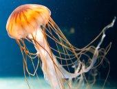 استخراج مادة من قناديل البحر تعجل بشفاء جروح مصابى الأمراض المزمنة