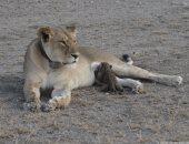 شاهد الأمومة بين الحيوانات المفترسة.. شبل فهد يرضع من أنثى الأسد