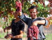 """""""الزراعة"""" تقدم حزمة ارشادية لمزارعى حدائق العنب للنهوض بإنتاجية المحصول"""