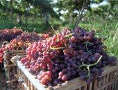 """""""الزراعة"""" تلزم مصدرى العنب بـ 8 إجراءات لتصدير المحصول.. تعرف عليها"""