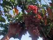 نشرات إرشادية لمزارعى الخضر والفاكهة تجنبا لمخاطر الموجة الحارة
