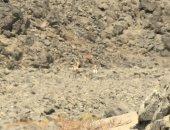 وزارة البيئة: رصد تجمع للغزلان بمحمية وادى الجمال