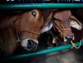 لخفض الانبعاثات الكربونية.. البرتغال تخطط لتقليل إنتاج لحوم البقر