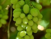 """""""الزراعة"""": حزمة إجراءات إرشادية لمحصول العنب لزيادة الإنتاج.. تعرف عليها"""