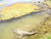 بالصور.. إعادة تمساح نيلى إلى بيئته الطبيعية فى بحيرة ناصر