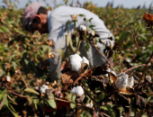 """""""الزراعة"""": حملات توعوية لزيادة مساحات القطن ونشر الأصناف الجديدة"""