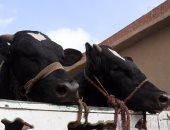 الزراعة: تشديد فحص الماشية الحية واللحوم المستوردة بالمحاجر البيطرية