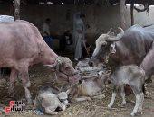 """كيف تعمل الحكومة على زيادة اللحوم والألبان بالأسواق.. """"الزراعة"""" تجيب"""