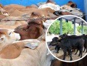 """""""الزراعة"""": استيراد 220 ألف رأس عجل وجمل استعدادًا لرمضان"""