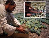 """""""الزراعة"""": ارتفاع صادرات الجوافة والرمان والمانجو لـ9282 طنا"""