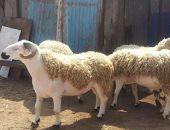 كيف تتأكد من سلامة خروف العيد قبل الشراء؟.. الزراعة تجيب
