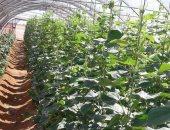 بالصور.. بشائر الصوب الزراعية تحقق الاكتفاء الذاتى من الخضراوات بالوادى الجديد