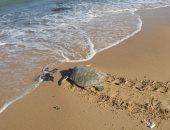 مواطن ينقذ سلحفاة بحرية بإعادتها إلى بيئتها الطبيعية فى البحر المتوسط