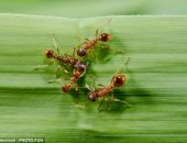 صدق أو لا تصدق.. ابتكار كريم من سم النمل لعلاج الصدفية المستعصية