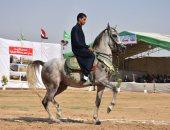الجمعة المقبلة إنطلاق مهرجان الخيول العربية الثانى فى المنوفية