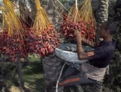"""""""الزراعة"""": لجان مرورية لمكافحة سوسة النخيل وتوفير المبيدات بنصف الثمن"""