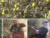رحلة الثمرة المباركة.. زراعة الزيتون من البذور حتى جمع الثمار