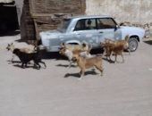 بالصور.. شكوى من انتشار الكلاب الضالة فى العامرية بالإسكندرية
