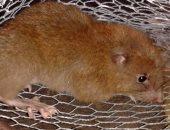 علماء يعثرون على نوع نادر من الفئران يستطيع كسر جوز الهند بأسنانه بجزر سليمان