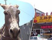 """الصين تلاحق الحمير فى أفريقيا.. توقعات بانخفاض أعداد الحمير فى العالم.. ذبح 1.8 مليون رأس سنويا لإنتاج مادة """"إيجياو"""" لعلاج الضعف الجنسى والأرق.. ومنظمة """"دونكى سانكتشرى"""" تحذر من سرقة الحيوان فى القارة السمراء"""