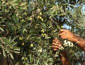 روشتة لمزارعى الزيتون تحسن طرق الرى والتسميد لزيادة الإنتاج.. تعرف عليها