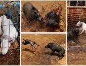 انطلاق مسابقة الصراع بين الكلاب والخنازير البرية فى إندونيسيا