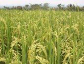 توقعات بهبوط أسعار الأرز لأدنى من 7 جنيهات للكيلو بالموسم الجديد.. غرفة الحبوب: الإنتاج يزيد عن الاستهلاك بأكثر من مليون طن.. وإيقاف تصديره ساهم فى خفض السعر بنسبة 30 %