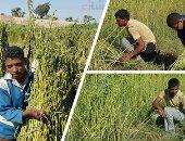 الزراعة: 67.296 فدان منزرعة بالسمسم وخطة لزيادة المساحات المنزرعة