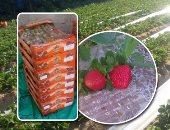 الزراعة: حزمة إرشادية حول طرق تسميد وحرث محصول الفراولة