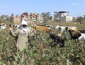 وكيل زراعة الغربية: 12 ألف فدان مستهدف زراعة القطن بالمحافظة