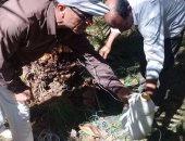 صور.. س&ج.. تعرف على أخطر حشرة تهدد أشجار النخيل فى مصر وطرق الوقاية