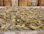 س و ج.. تعرف على مشروع الإستزراع السمكي فى شرق قناة السويس.. صور وفيديو