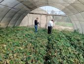 """""""الزراعة"""" تكافح العنكبوت الأحمر بالمجان لحماية محاصيل الفراولة والفصوليا"""