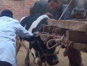 بدء الحملة الثانية لتحصين الثروة الحيوانية ضد الحمى القلاعية بأسوان