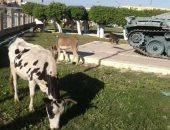 رئيس مدينة الإسماعيلية يكشف سر تواجد أبقار داخل متحف دبابات أبوعطوة.. صور