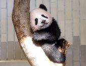 """صور..الباندا """"شان شان"""" تداعب وسائل الإعلام فى طوكيو قبل عرضها للجمهور"""