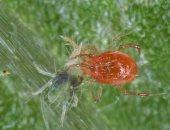 مخاطر العنكبوت الأحمر على الفراولة والخضراوات × 10 معلومات