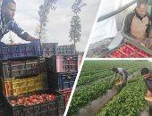 الزراعة: الاتحاد الأوروبى رفع الفحوصات الإضافية عن الفراولة المصرية